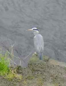 One of our herons