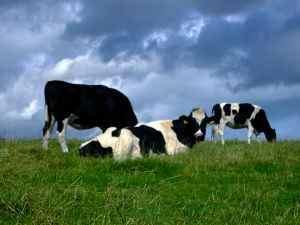 857805_cows1