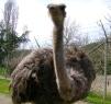 Ostrich at Wildlife Safari