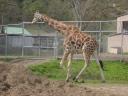 Wandering giraffe at Wildlife Safari