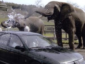 Elephant Car Wash at Wildlife Safari