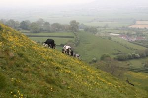 Glastonbury Tor grows lopsided cows!
